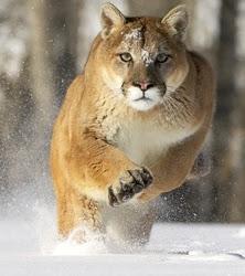 external image Puma%2520-%2520Cougar-072882%2520RAW%5B1%5D.jpg