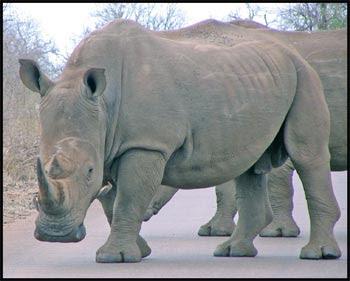 [Image: white-rhino.jpg]