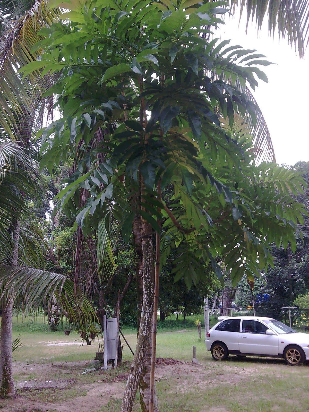 Pokok+jelatang+gajah