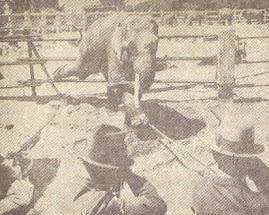 Elefante acribillado por varios hombres.
