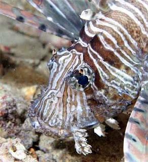 احلى صور للبحر الاحمر والغطس Lionfish2tg