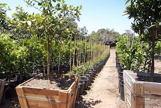 Next We Went To The Clausen Nursery In Vista Talked Gordon Grandson Of Founder Produces Tens Thousands Trees Annually And