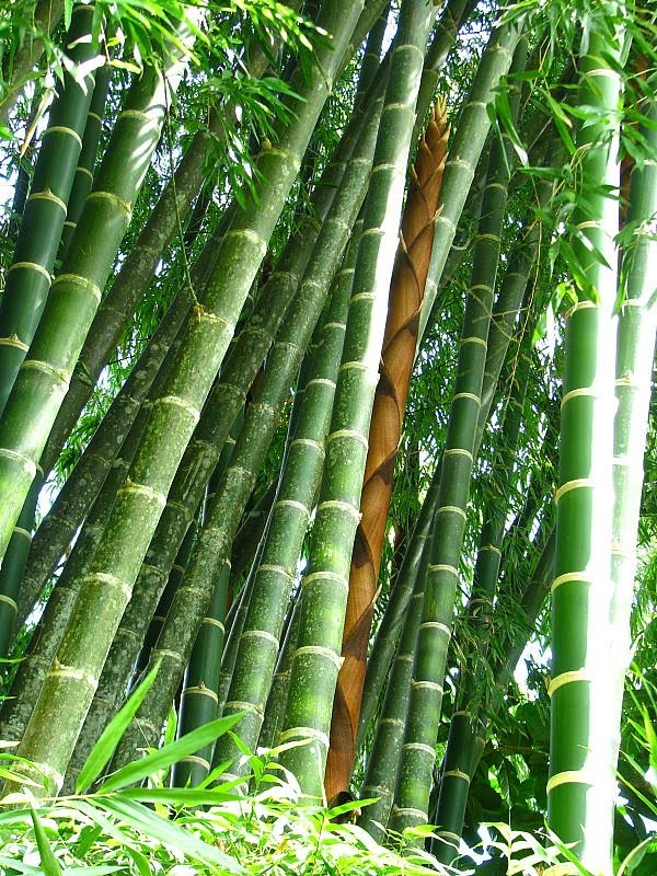 Organizaci n boricu de agricultura ecologica taller el - Reproduccion del bambu ...
