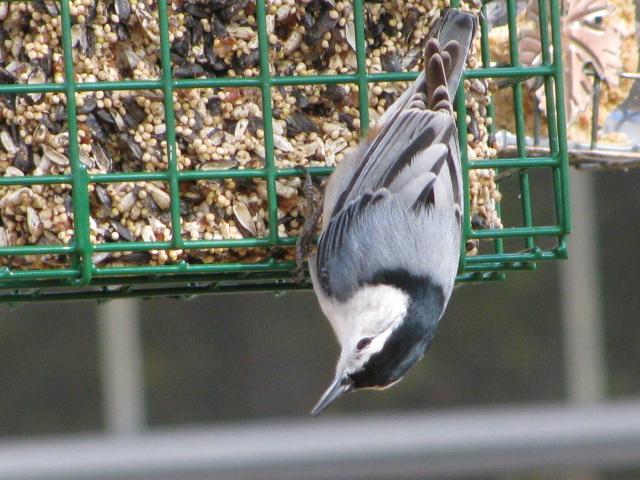Winter Backyard Birds : BirdsEyeViews Winter Backyard Birds