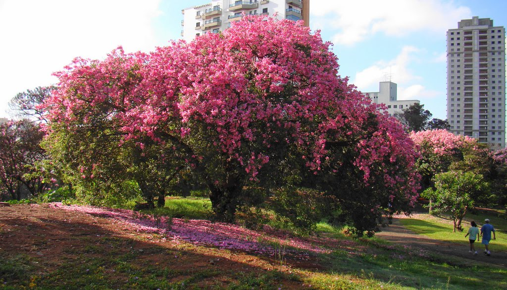 Tree Identification Chorisa Speciosa Silk Floss Tree