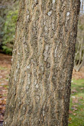 Tree identification quercus palustris pin oak