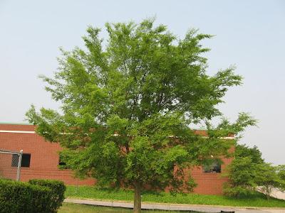 elm tree identification by bark. Ulmus parvifolia - Chinese Elm