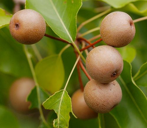 Резултат с изображение за pyrus calleryana fruit