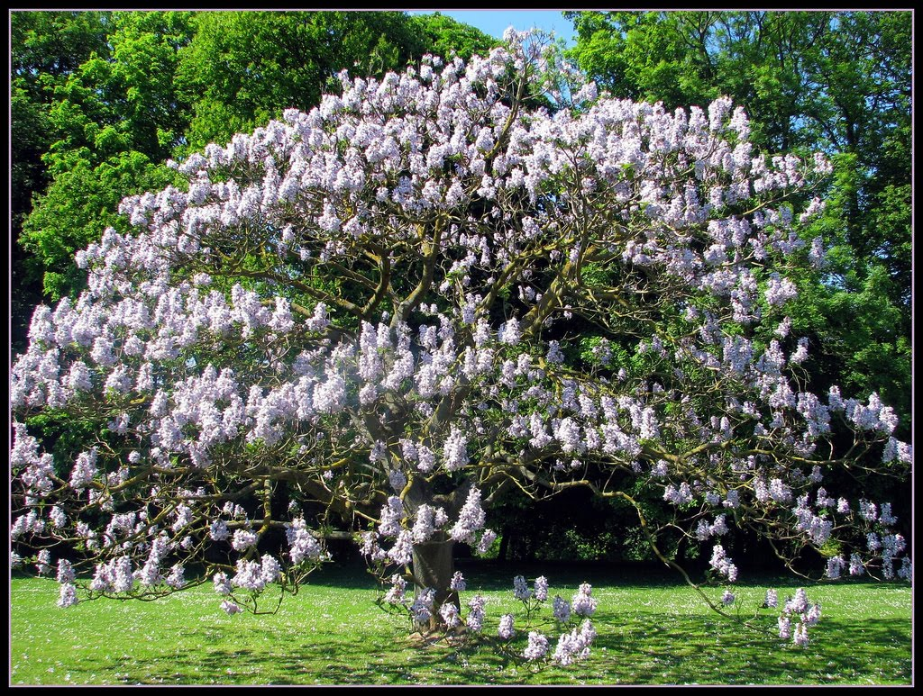 Tree identification paulownia tomentosa empress tree for Arbre persistant pousse rapide