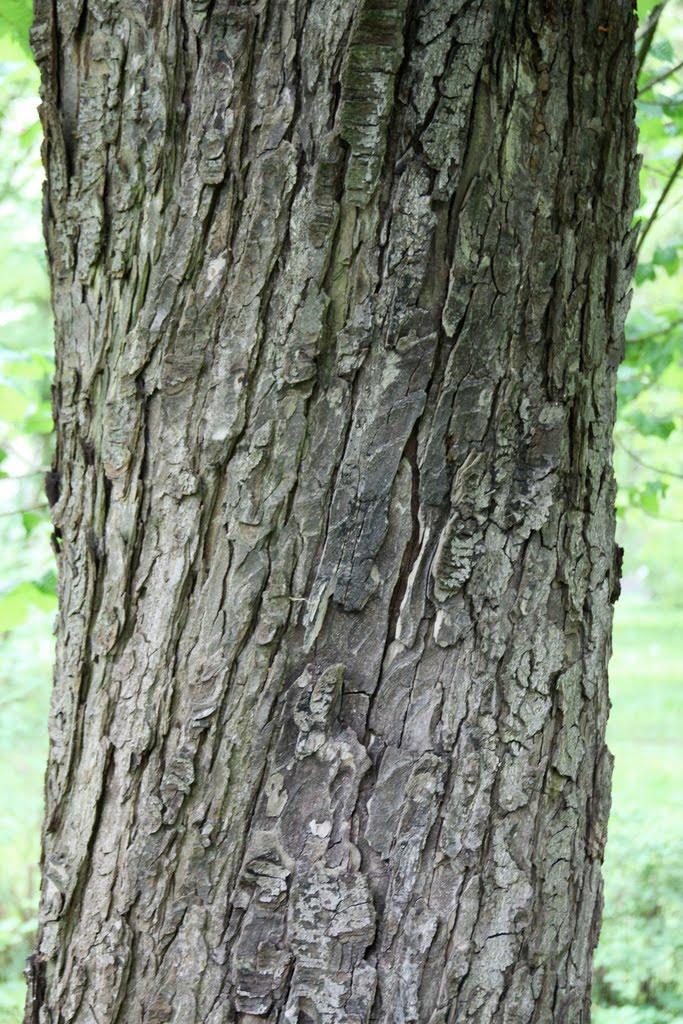 black cherry tree bark. lack cherry tree bark. cherry