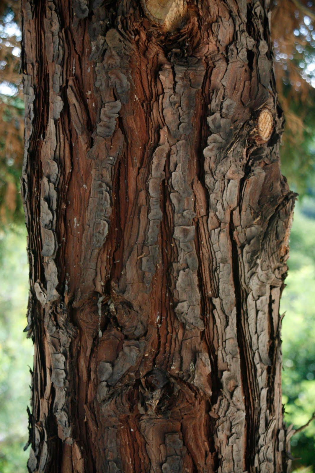 Tree identification calocedrus decurrens incense cedar