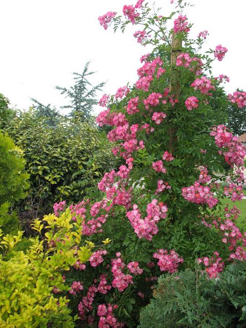 Roses du jardin ch neland rosier maria lisa for Rosier grimpant pour mi ombre