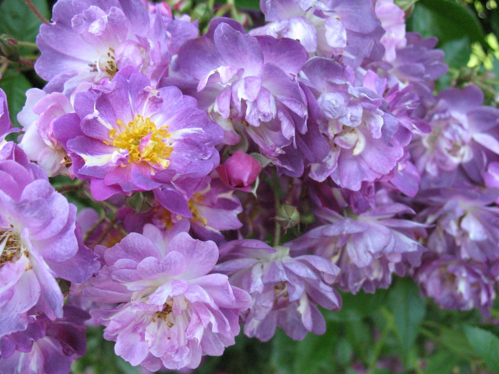 Roses du jardin ch neland rosier veilchenblau - Taille des rosiers apres floraison ...