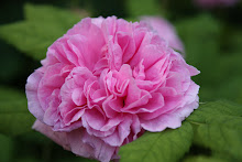 &#39;Duchesse de Rohan&#39;