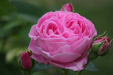 &#39;Louise Odier&#39;