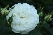 &#39;Blanche de Belgique&#39;