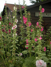 Hoosier Hollyhocks