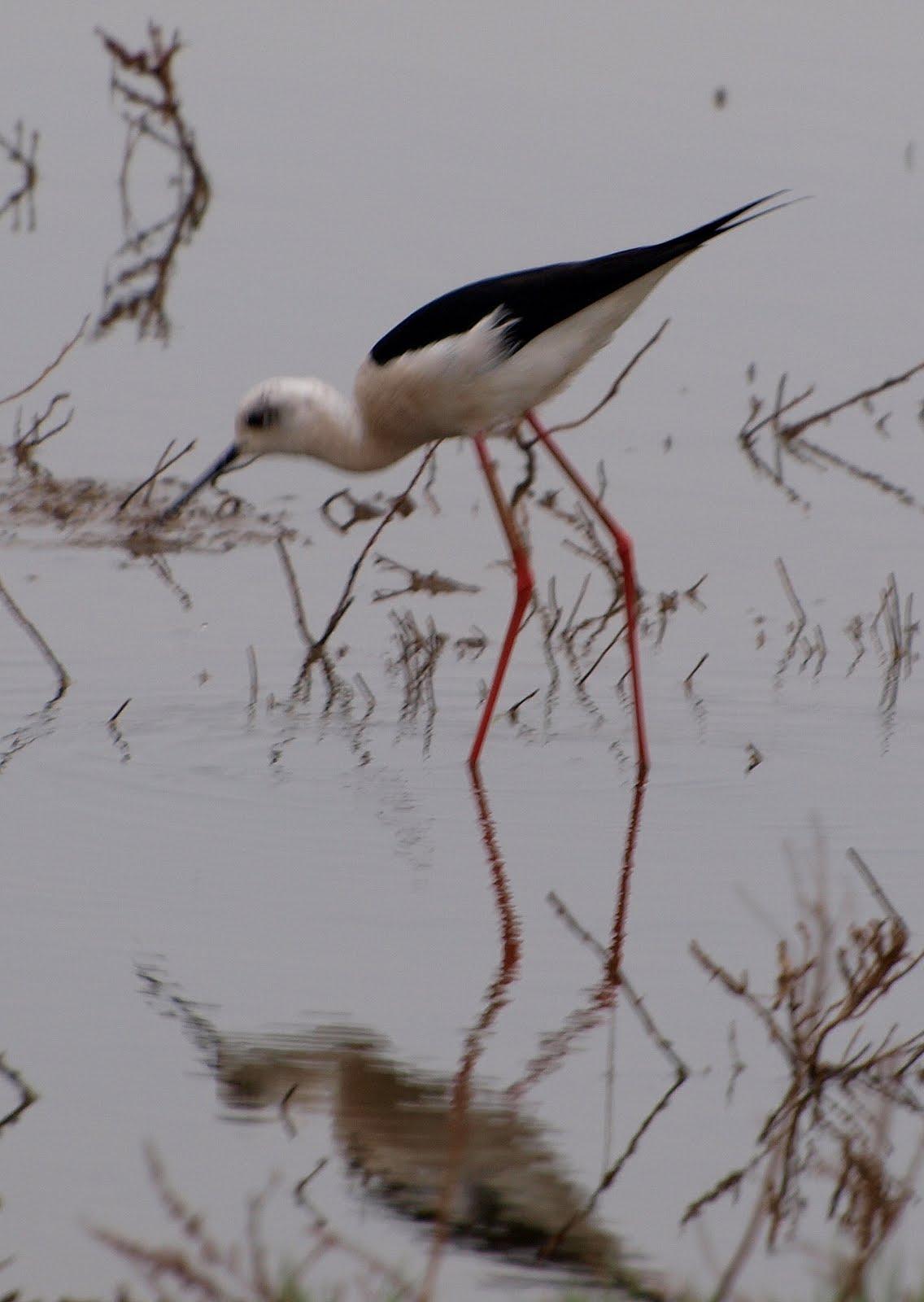 Birding the costa 24 april fuente de piedra - Fuentes de piedra ...