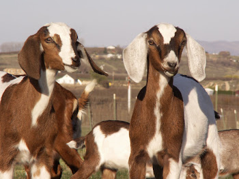 PROVERBS 31 Dairy Goat Herd