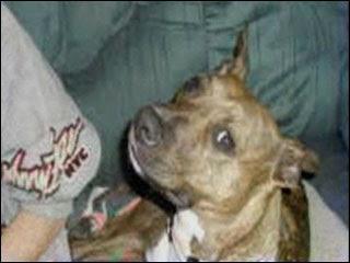 pit bull stand craigslist
