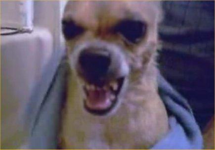 Pit Bulls Attack Chihuahua