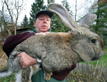 The huge rabbit.