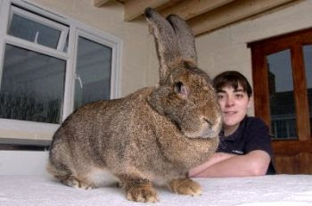 The big rabbit.