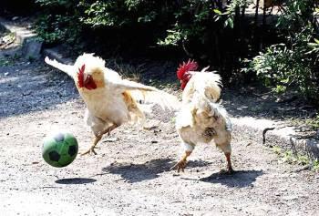 Cocks play football.