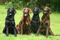 Flat Coated Retriever Dogs