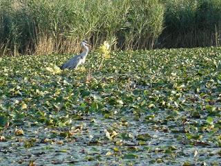 Airone cenerino tra la vegetazione galleggiante del Lago di Annone