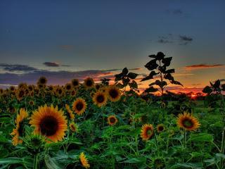 Si Chiquito, ang sun flower at ang bayabas