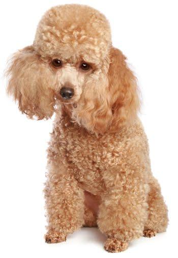 Fotografías profesionales de Caniches / Poodle Toy-poodle