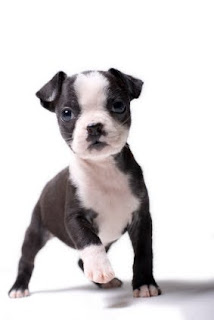 cachorro boston terrier