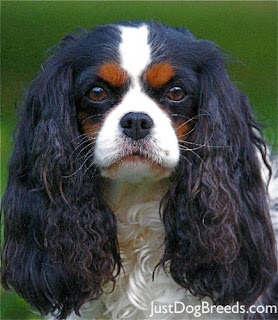 Cavalier Spaniel