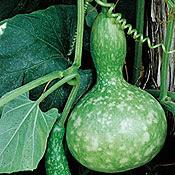 Bird's nest gourd