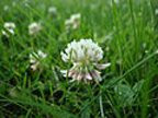 White clover