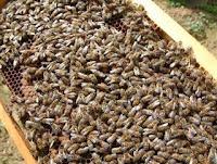Frame full of bees