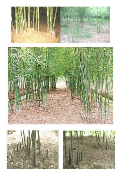 สวนไผ่เลี้ยง การออกหน่อ และระบบน้ำ