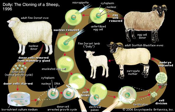 sheep and bakra cloning