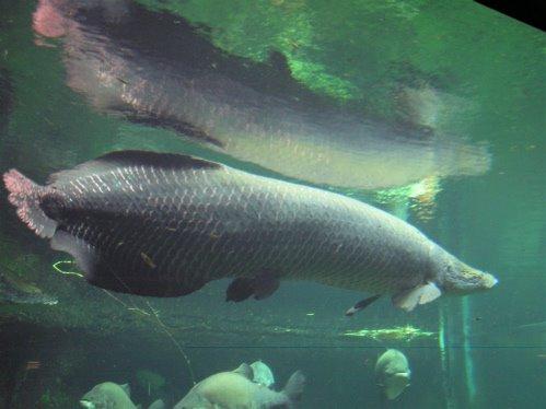 World largest fish and beautiful fish arapaima fish for World largest fish