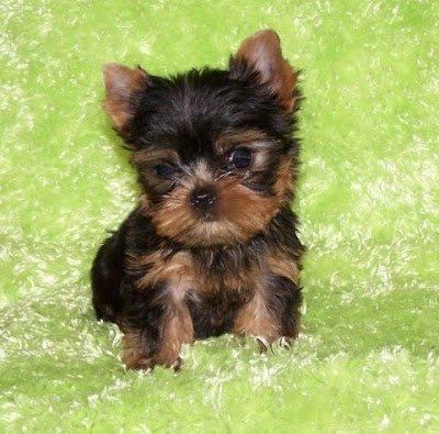 Yorkie Puppies on Top 10 Puppies For Sale Online In Us And