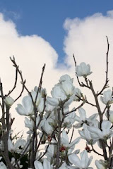 Magnolias and Blue Sky