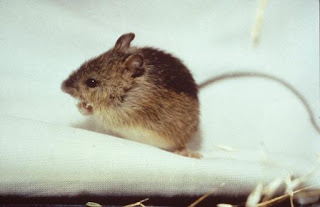 Prebles Meadow Jumping Mouse