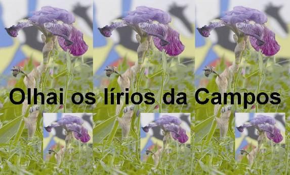 Olhai os lírios da Campos
