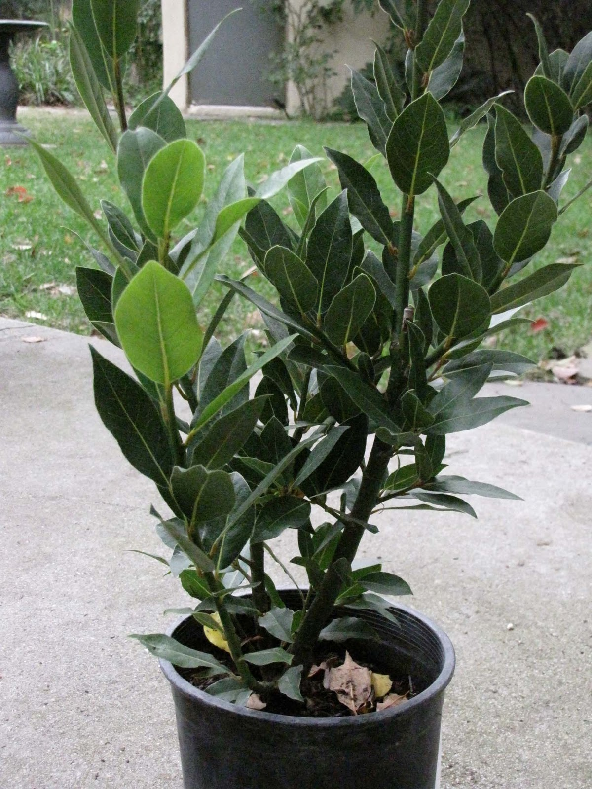 Pineywoods herb farm plants - Cook bay leaves ...