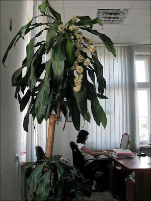 Драцена цветет