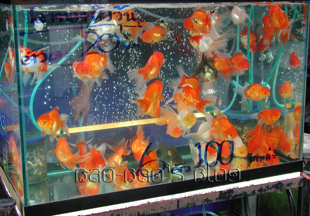 what do goldfish eggs look like in a fish tank. how do goldfish eggs look
