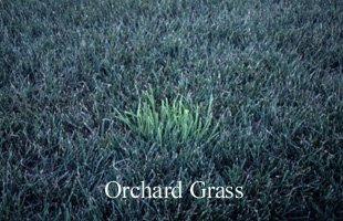 Orchardgrass lawn