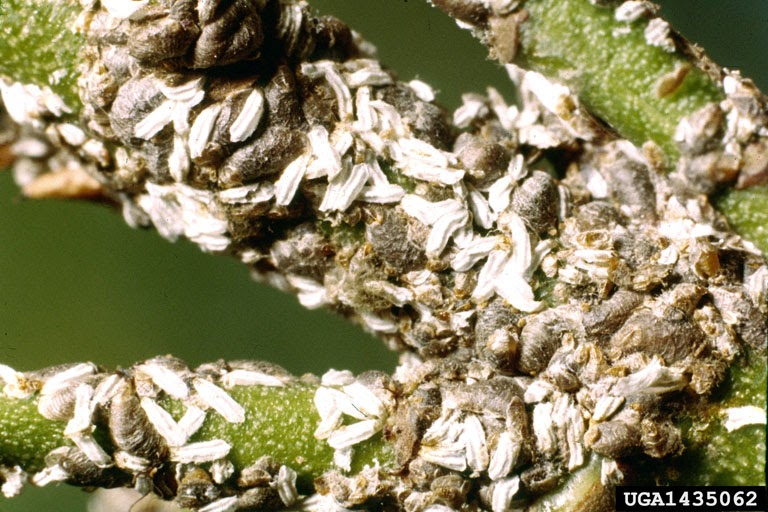 University Of Delaware Cooperative Extension Kent Co Commercial Horticulture Information Landscape Scale Insects Euonymus