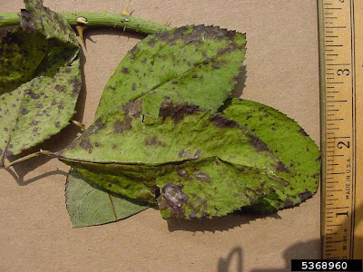 Black spot on rose leaves with feathery purple black spots having no